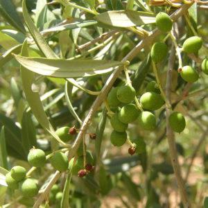 Visita aceite de oliva